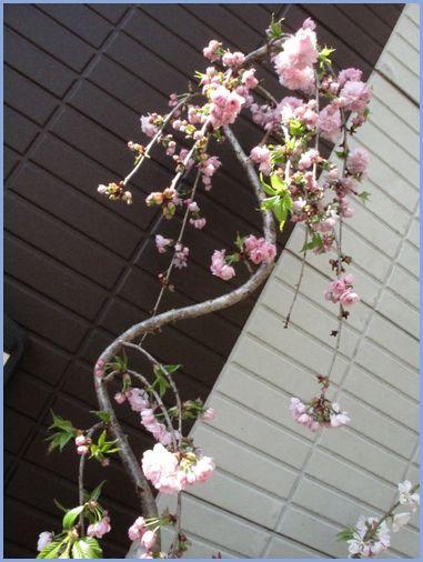 八重しだれ桜。.jpg