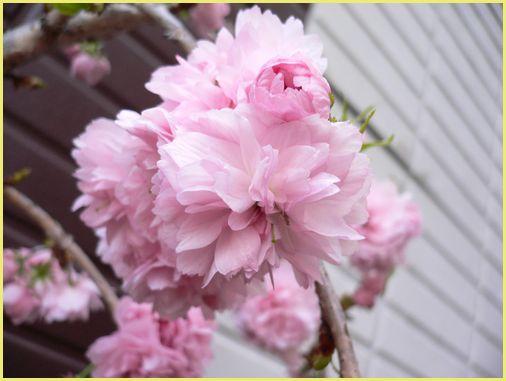 八重しだれ桜。。.jpg