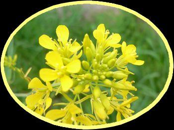 菜の花。.jpg