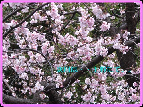 桜。。咲く・・・。.jpg